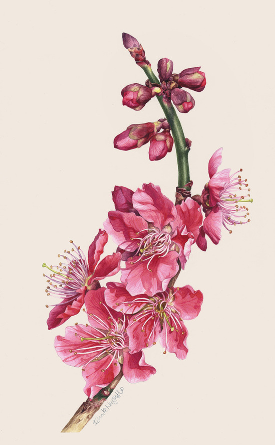 Drawn sakura blossom botanical Gorgeous! Cherry Behance  II