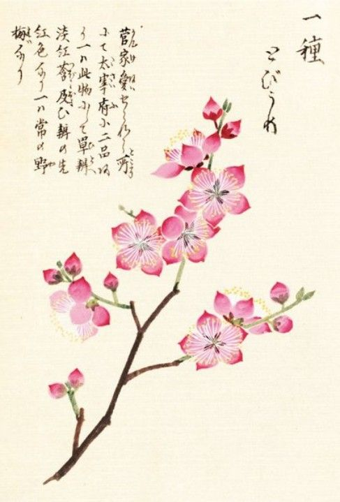 Drawn sakura blossom botanical Iwasaki best 56 Kan'en Royal