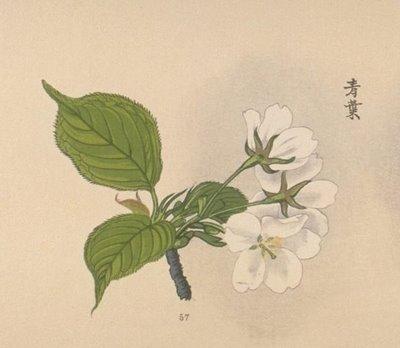Drawn sakura blossom botanical Cherry The Book 8 Blossom