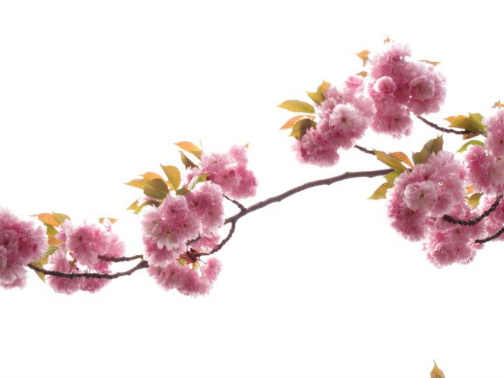 Drawn sakura blossom botanical Botanic Brooklyn Chang Brooklyn Photo