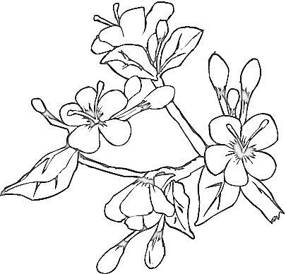 Drawn sakura blossom coloring page A can page print image
