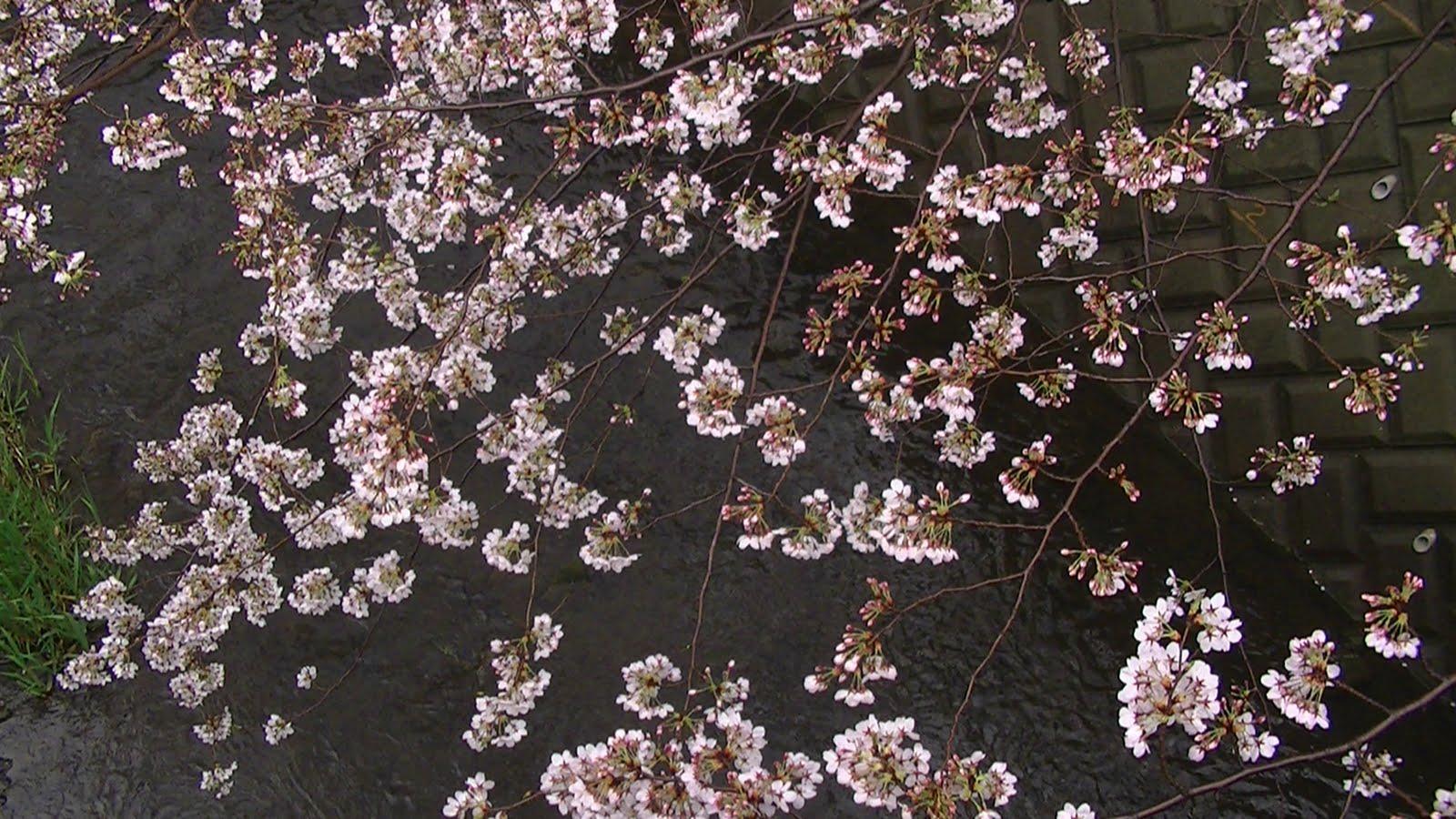 Drawn sakura blossom flower cluster When is clusters yokohamamama: quite