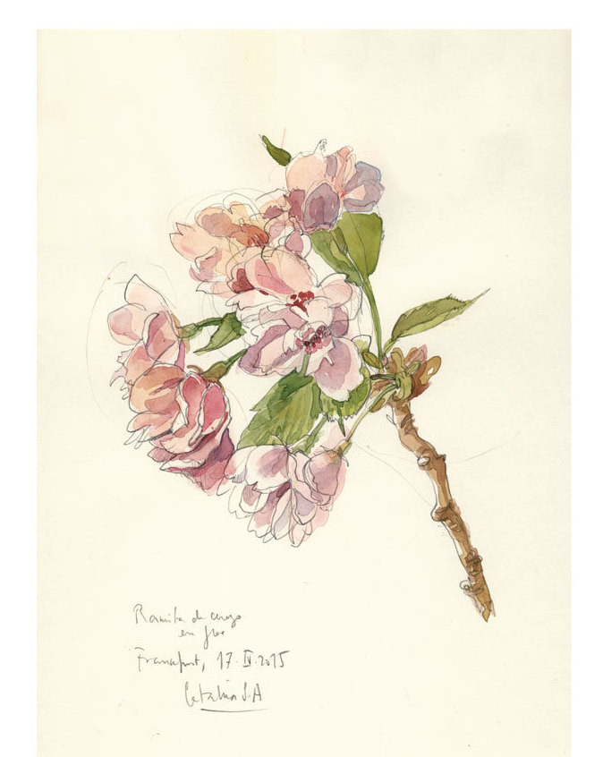 Drawn sakura blossom flower cluster  botanical floral cherry drawing