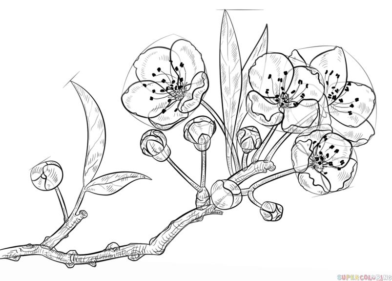 Drawn sakura blossom illustration How blossom to Drawing a