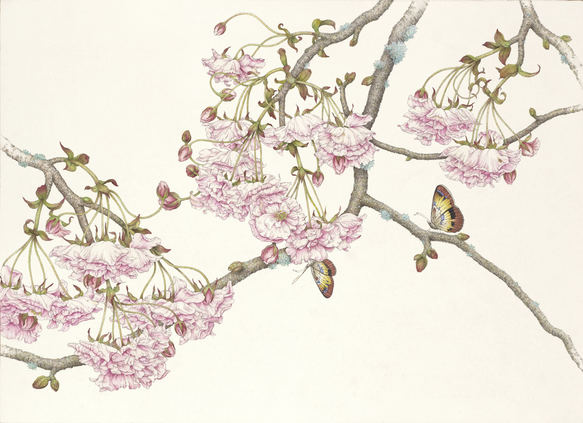 Drawn sakura blossom ink Japanese Watercolor Pen Blossoms Cherry