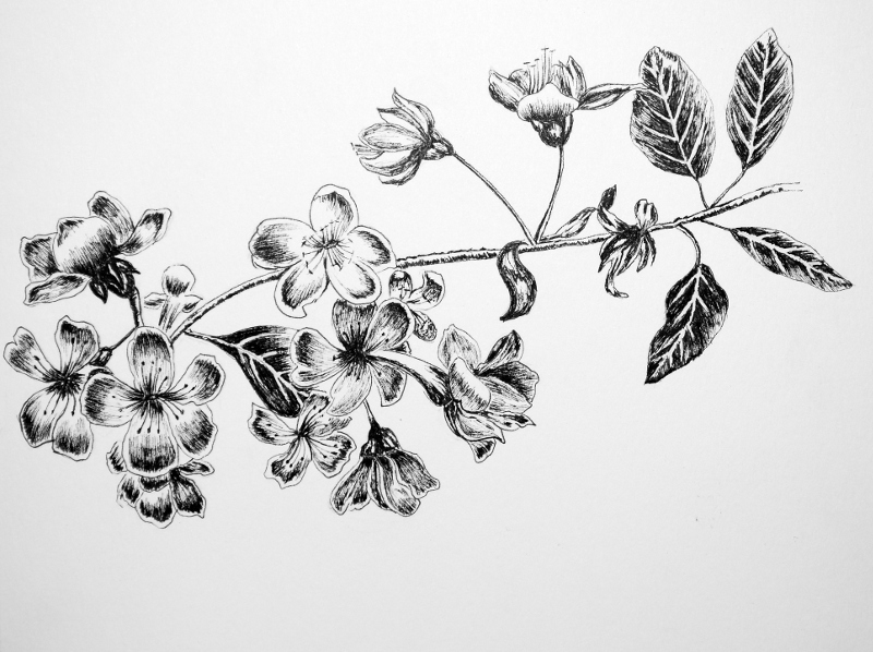 Drawn sakura blossom flower petal My Ink Pen and Cherry_Blossom