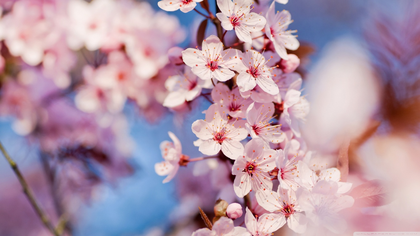 Drawn sakura blossom japanese building Cherry Cherry Tree Drawing