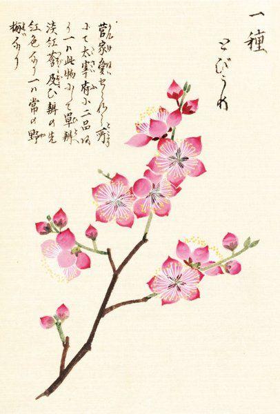 Drawn sakura blossom japanese plant Of best Sakura 183 by