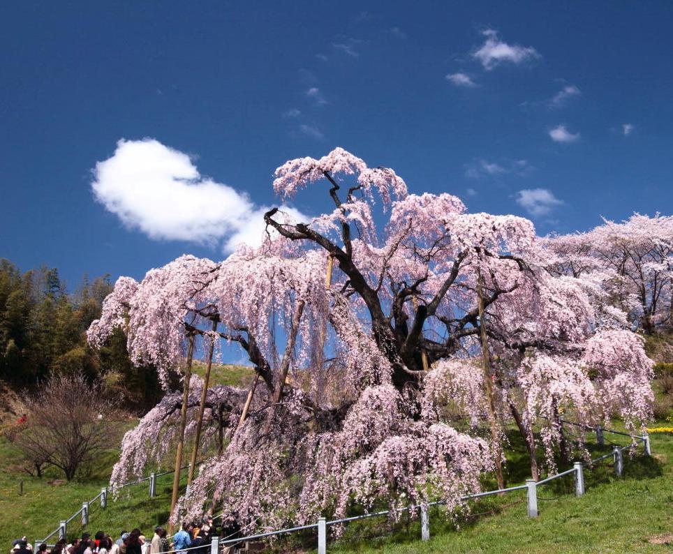 Drawn sakura blossom japanese plant Best trees sakura: cherry three