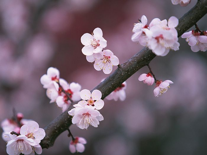 Drawn sakura blossom japenese Japanese cherry 14 drawing is