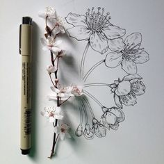 Drawn sakura blossom orange blossom flower  Pinterest blossom drawing without