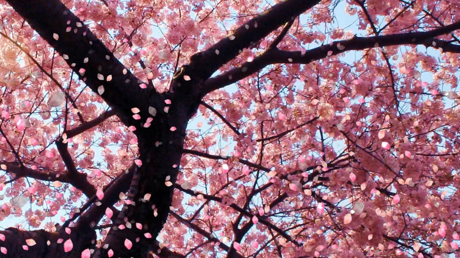 Drawn sakura blossom orchid tree Blossom wallpaper Orchid Wallpaper Cherry