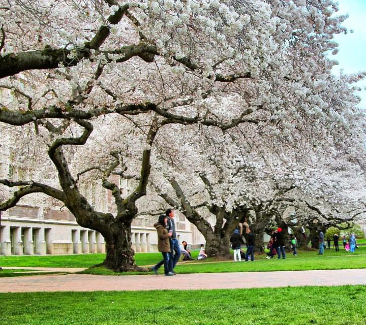 Drawn sakura blossom orchid tree In Sakura and AND FRANCISCO