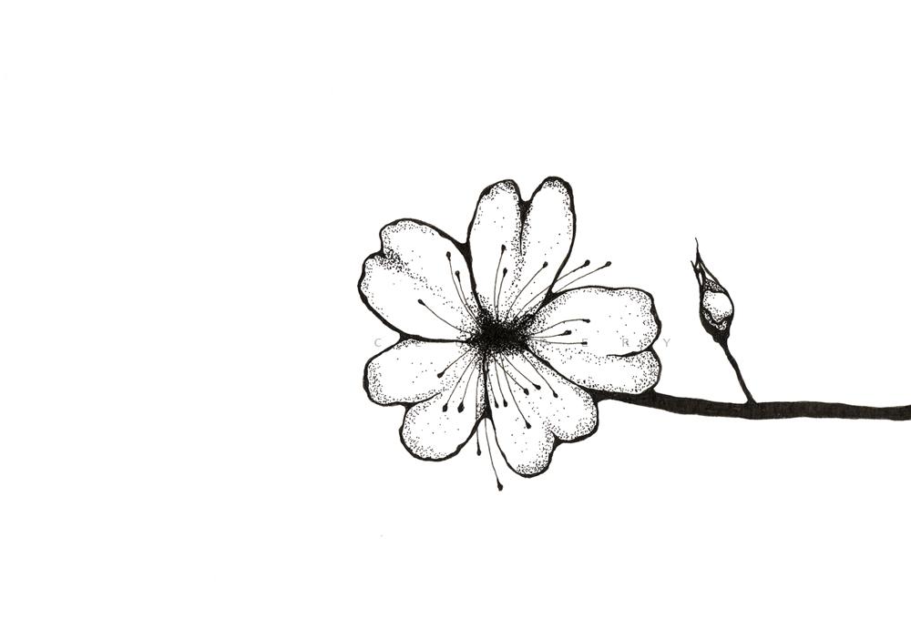 Drawn sakura blossom pen Cherry Blossom Cherry & •
