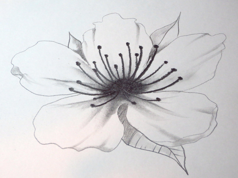 Drawn still life cherry Draw Blossom How YouTube Cherry
