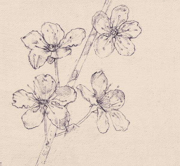 Drawn sakura blossom pencil drawing Blossom on graphite pencil sketches