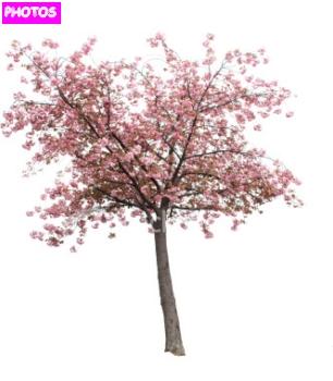 Drawn sakura blossom real Blossom Blossom Drawing Tree Tree