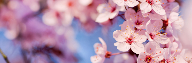 Drawn sakura blossom sakura bloom Wallpapers Desktop brighten Wallpapers Blossom