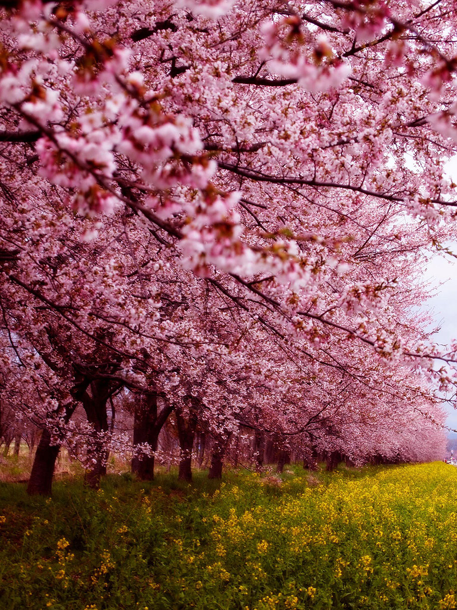 Drawn sakura blossom sakura bloom Best The Blossoms Japanese Pictures