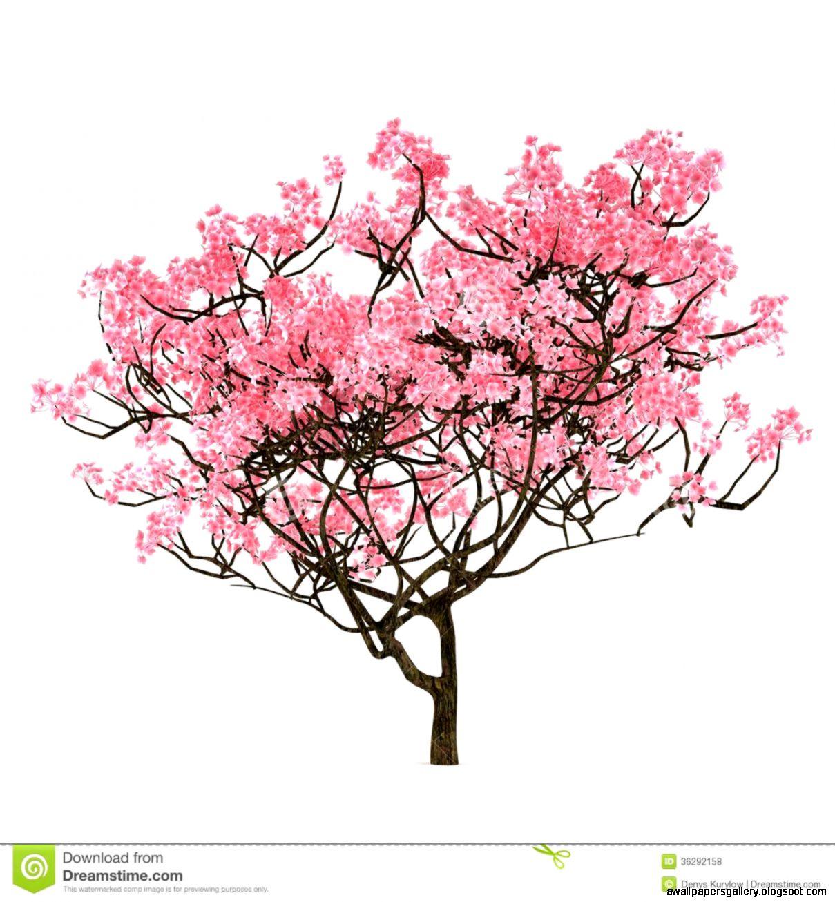 Drawn sakura blossom sakura tree Sketch Sakura Coloring Pencil Drawing