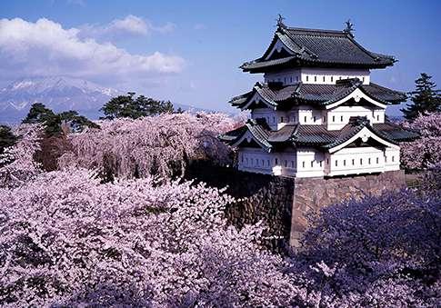 Drawn sakura blossom side view Spot Web blossom popular JAPAN