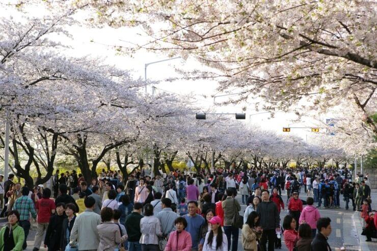 Drawn sakura blossom side view Festivals Cherry via 2017 blog