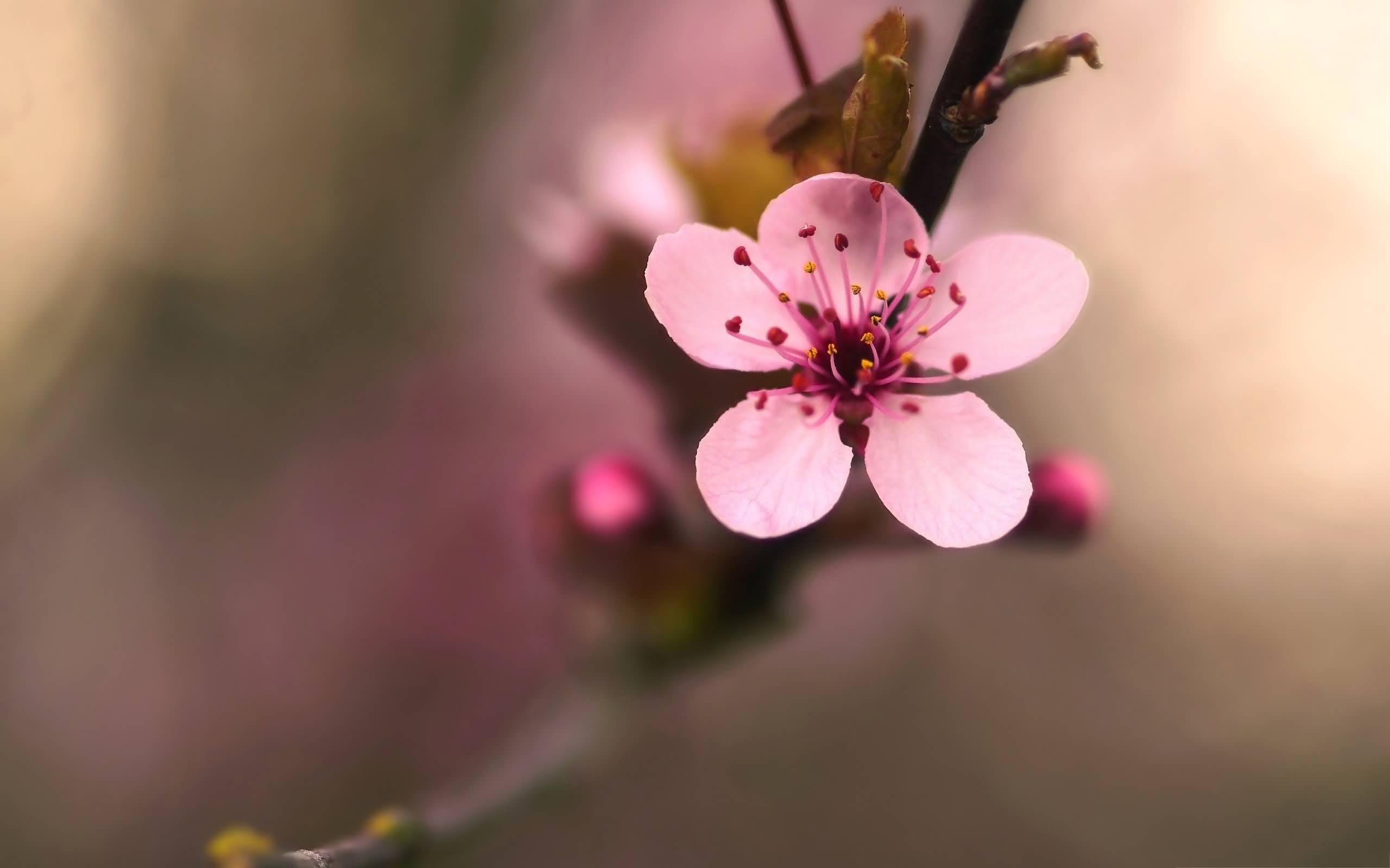 Drawn sakura blossom single Flowers Very Blossom px Cherry