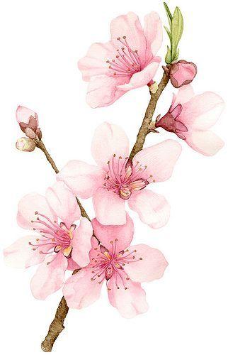 Drawn sakura blossom single On watercolor Blossom Cherry Best