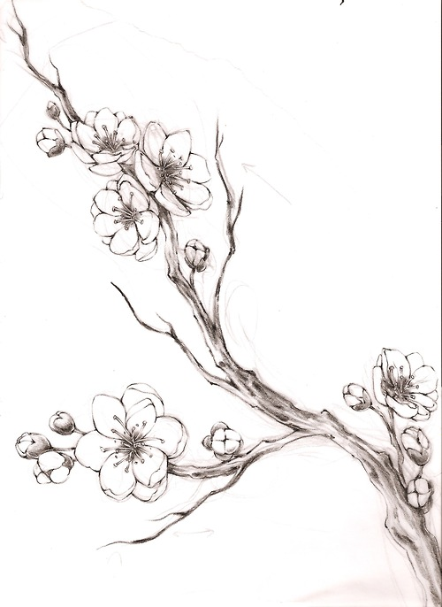 Drawn sakura blossom sketch Cherry branch cherry Cherry Cherry
