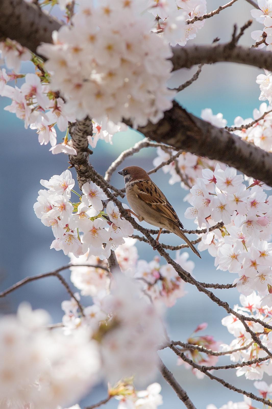 Drawn sakura blossom sparrows Cherry blossom Cherry Sparrow blossoms