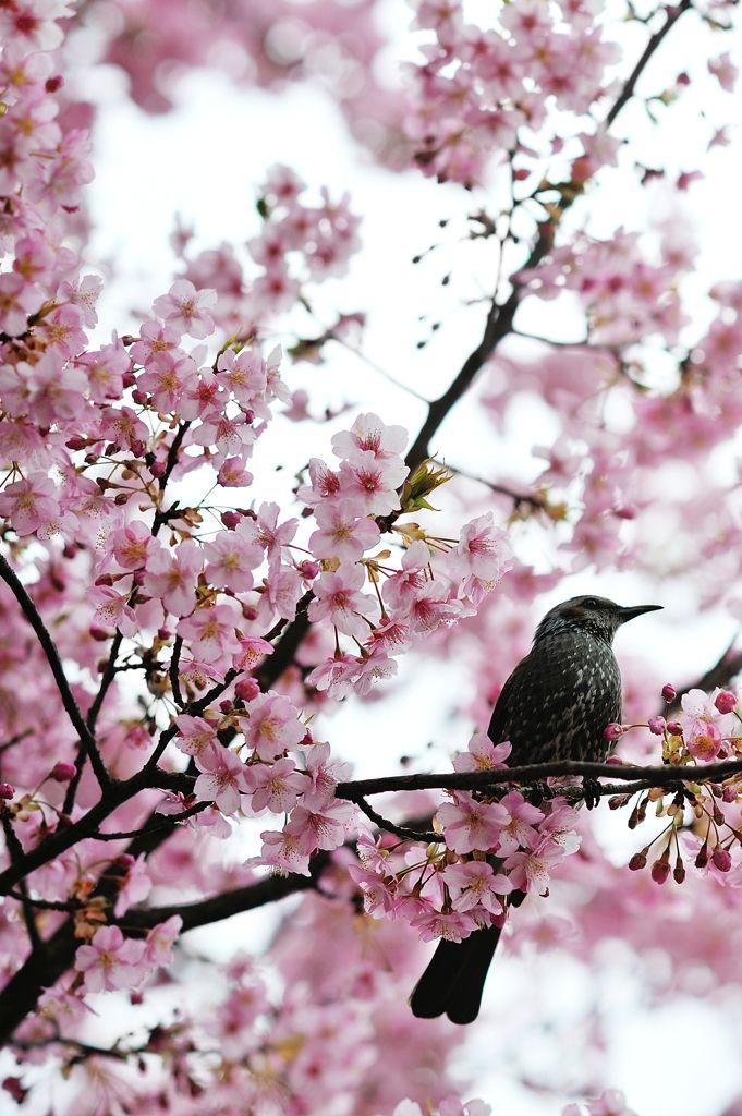Drawn sakura blossom spring tree A Best tree on bird