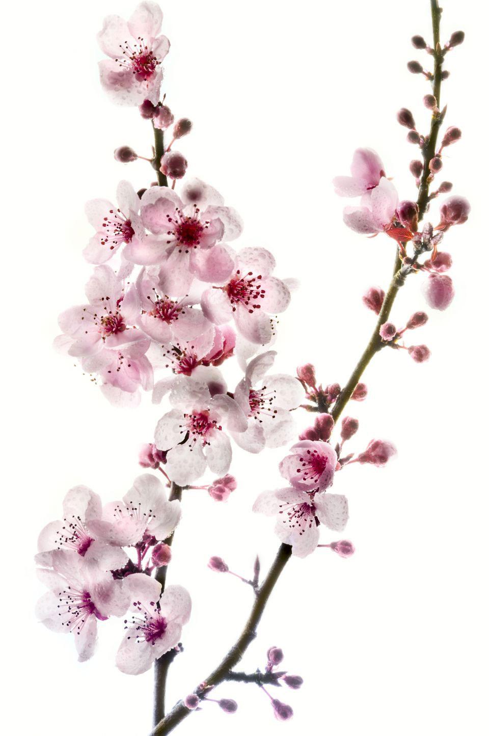 Drawn sakura blossom transparent Cherry tattoo japanese design /