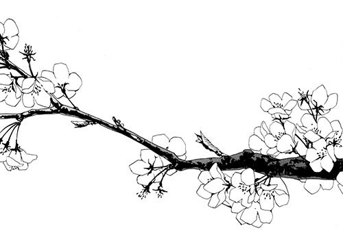 Drawn sakura blossom transparent Cherry coder The owner open;;