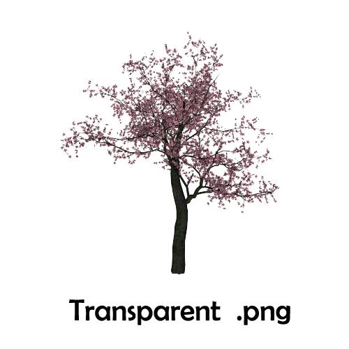 Drawn sakura blossom transparent 431 Cherry baekmii Blossom Tree
