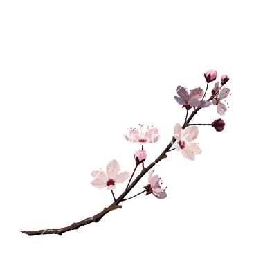 Drawn sakura blossom vector Blossom Search  Sewing drawing