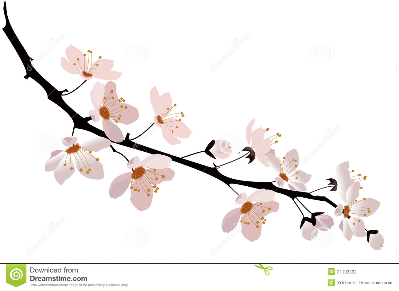 Drawn sakura blossom white background Cherry Drawings and blossom White