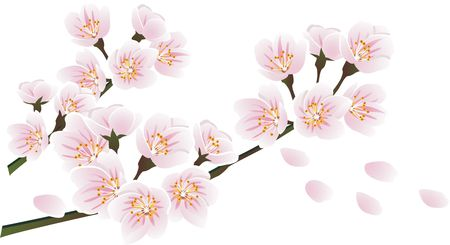 Drawn sakura blossom white background Blossoms drawing blossoms cherry &