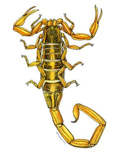 Drawn scorpion bug Insect Ink Find  Watercolor