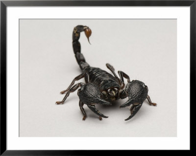 Drawn scorpion pencil drawing How Buy Tips of Scorpion