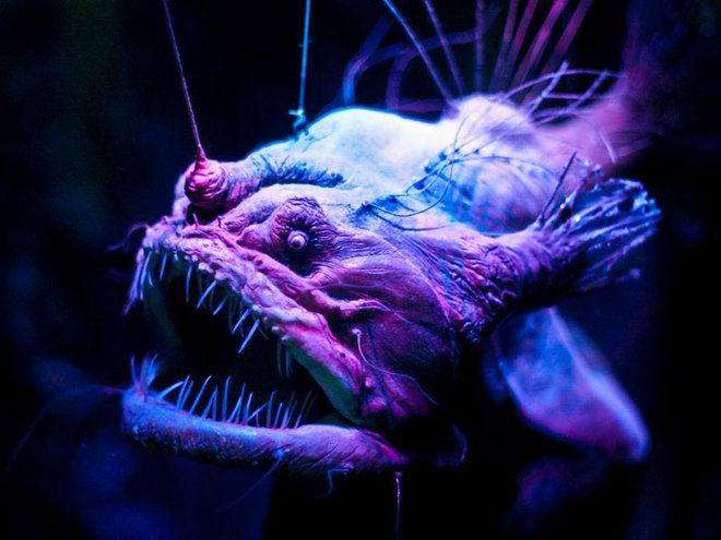 Drawn sea life deep sea creature Eerie Photos: In Creatures Anglerfish