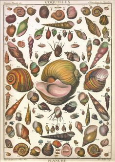 Drawn sea life nature Print Nature French 168 Shells