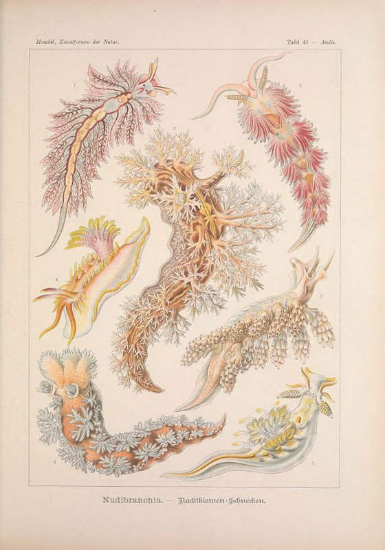 Drawn sea life nature Nudibranchs Species Forms Nature: From
