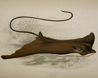 Drawn sea life ray fish Life Natural an Etsy Antique
