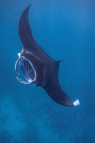 Drawn sea life ray fish On fish www 25+ Best