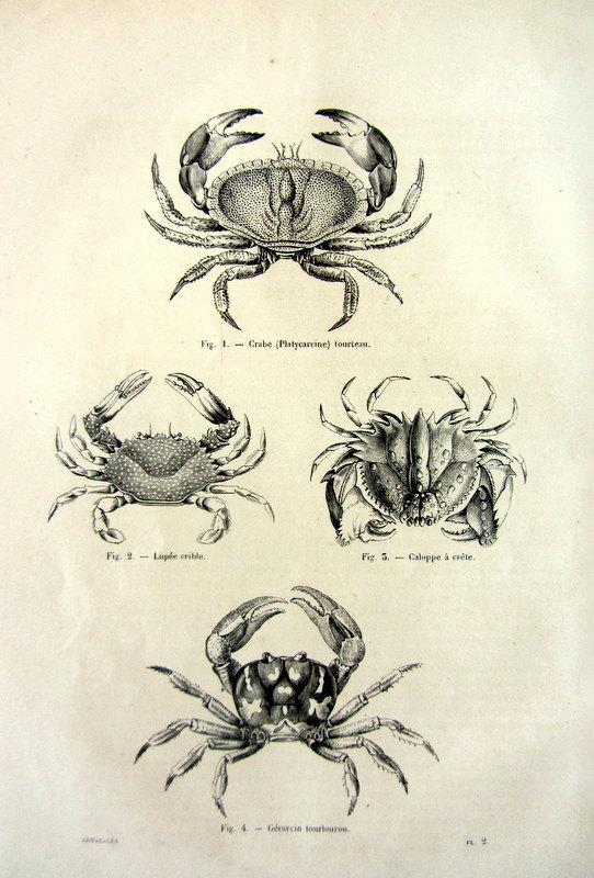 Drawn sea life sea crab Vintage sea animal crustacean engraving