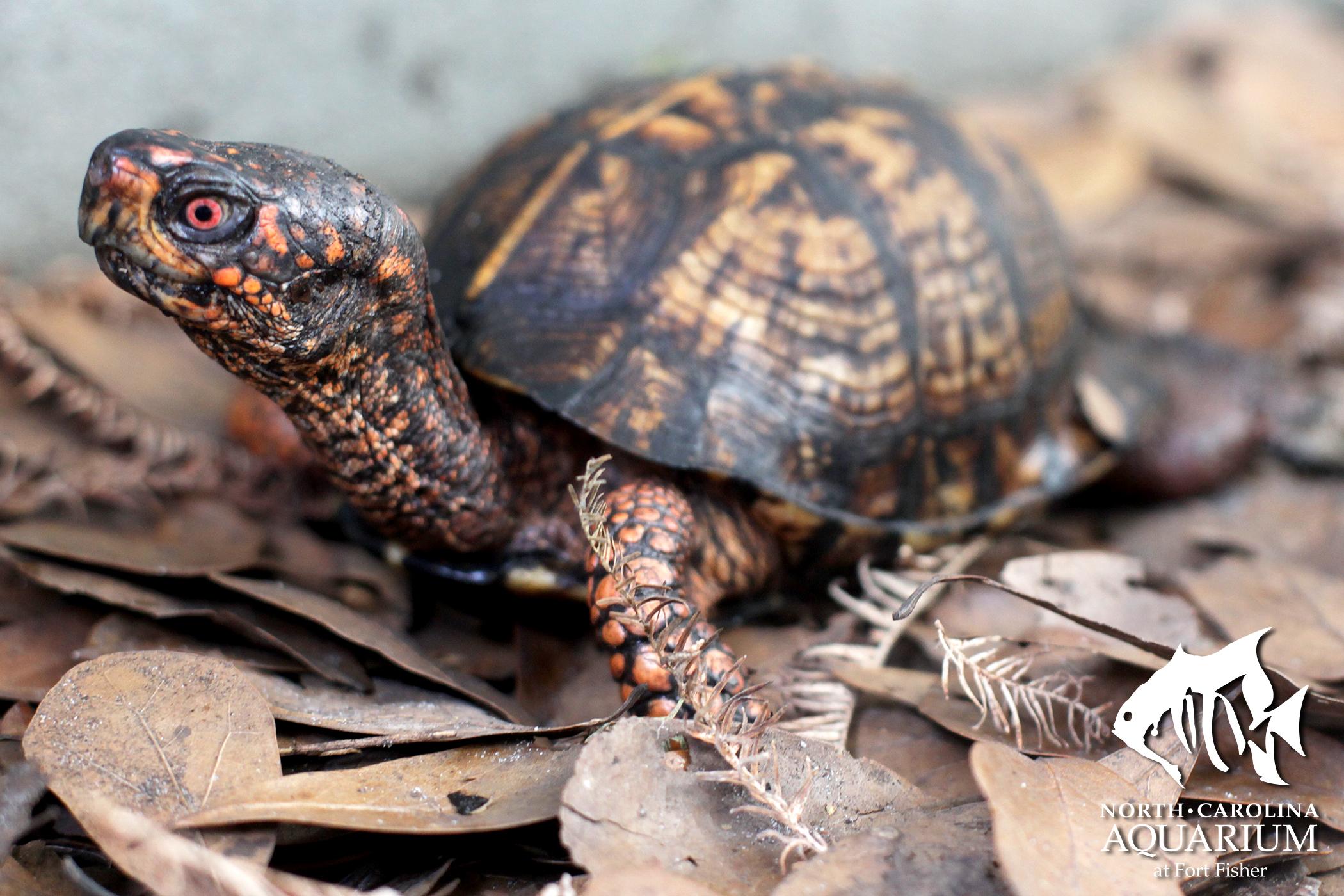 Drawn sea turtle box turtle Exploration Eastern Turtle Three Box