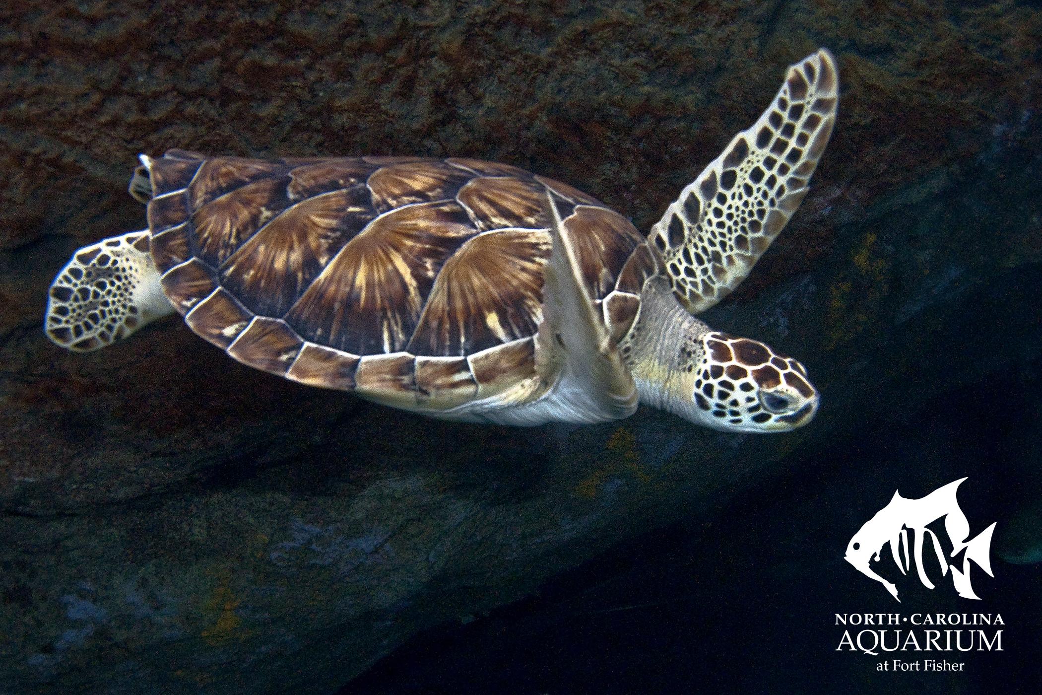 Drawn sea turtle box turtle Turtle Resources: Sea Lesson Green