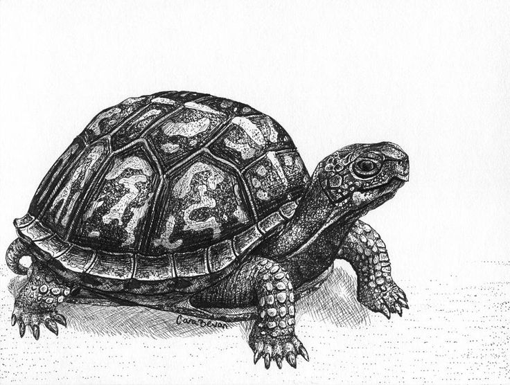 Drawn sea turtle box turtle Land) Pinterest on and Find
