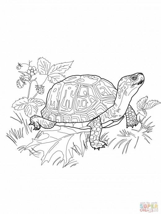 Drawn sea turtle box turtle And on images Terrapene What