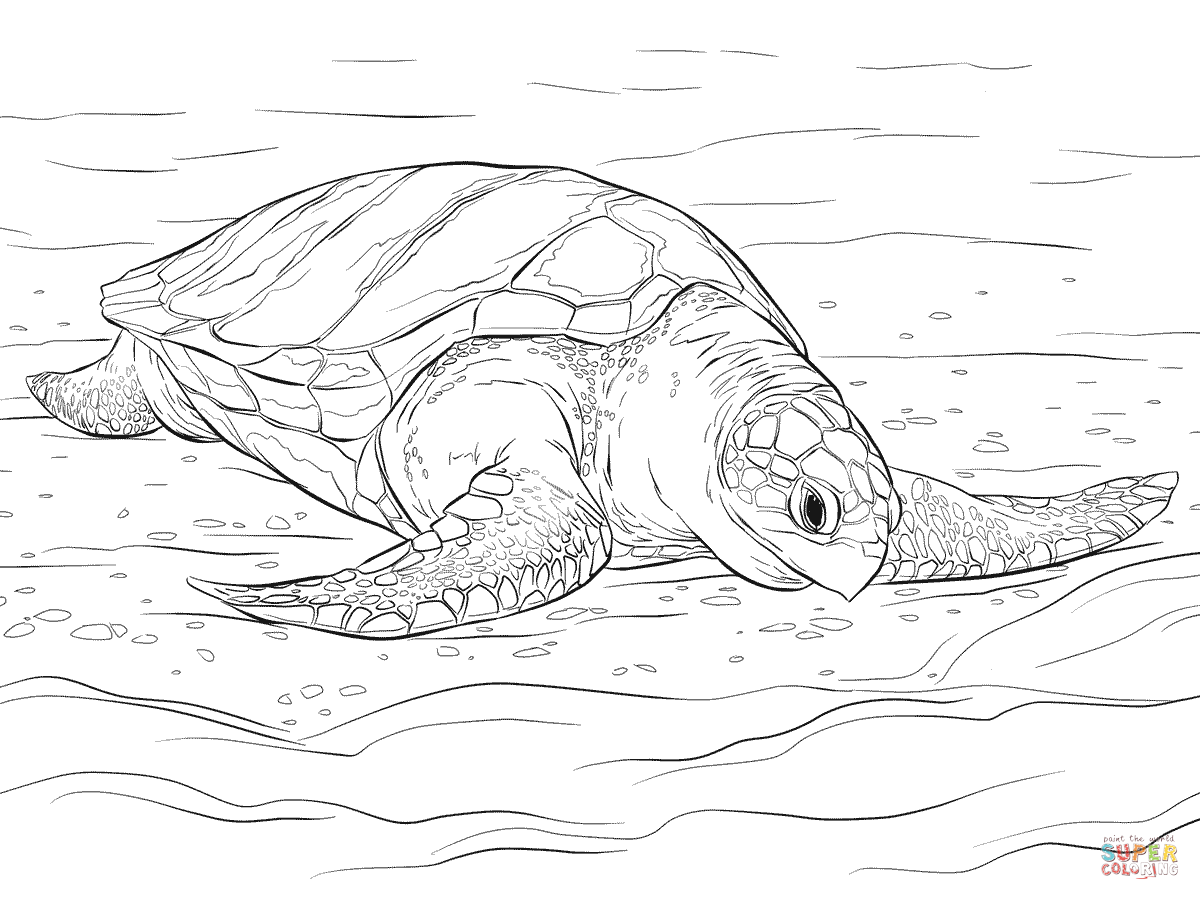 Drawn sea turtle colouring picture Olive Ridley Free Coloring coloring